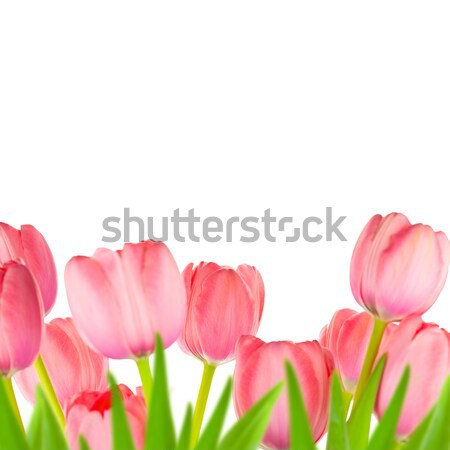 Spring Gentle Light-pink Tulips border, isolated Stock photo © Taiga