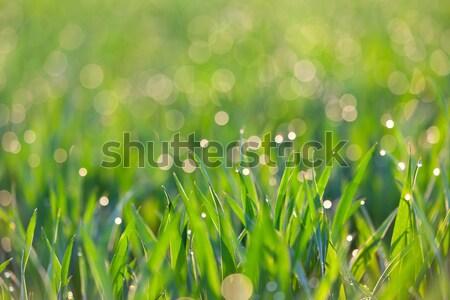 Stock fotó: Friss · fű · cseppek · harmat · fény · zöld