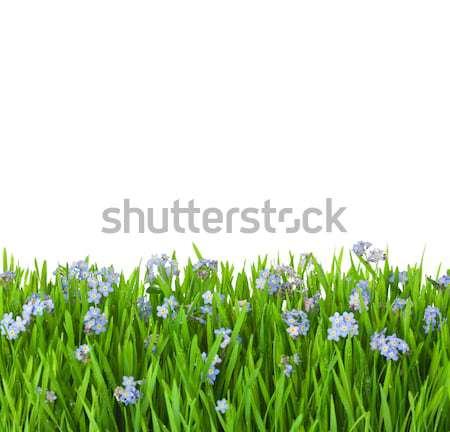 Blauw bloemen groen gras waterdruppels geïsoleerd witte Stockfoto © Taiga