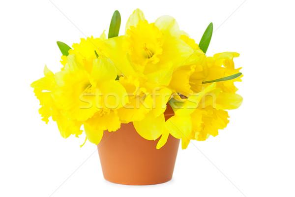 黄色 水仙 孤立した 白 春 ストックフォト © Taiga
