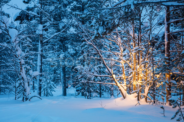 Stock photo: Christmas tree with garland lights in snowy winter forest