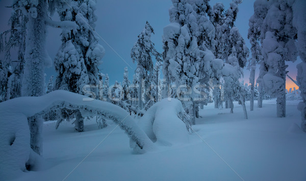 Inverno noite congelada floresta neve nevasca Foto stock © Taiga