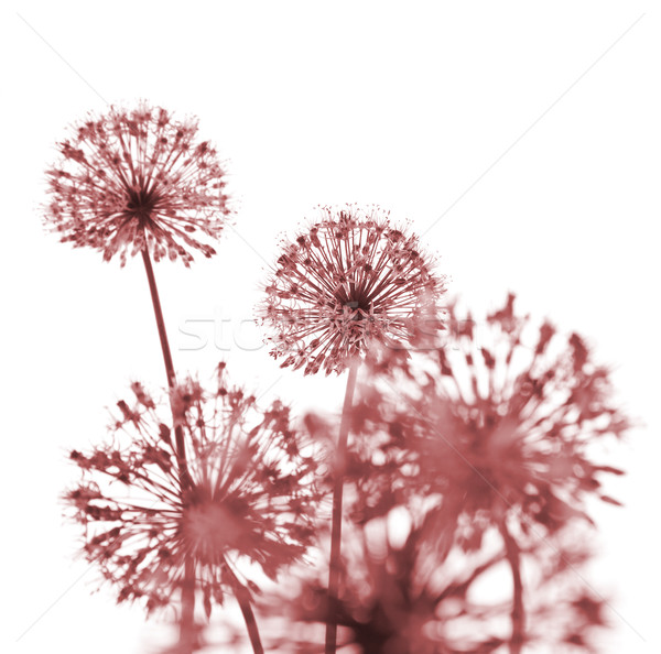 Beautiful Red Flowers / abstract  on white Stock photo © Taiga