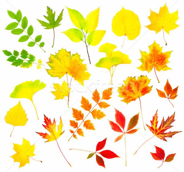 Collection of Beautiful Colourful Autumn Leaves Stock photo © Taiga