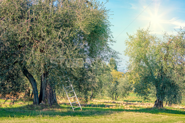 Harvest time  landscape of Olive trees plantation Stock photo © Taiga