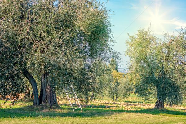 Oogst tijd landschap olijfolie bomen plantage Stockfoto © Taiga