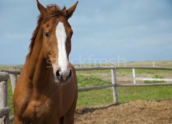 Horses portrait / farm  / blue sky and green grass Stock photo © Taiga