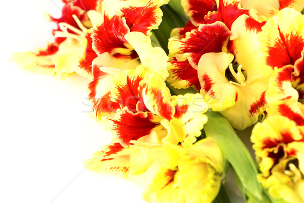 Bright colorful yellow and red Gladiolus isolated  horizontal Stock photo © Taiga