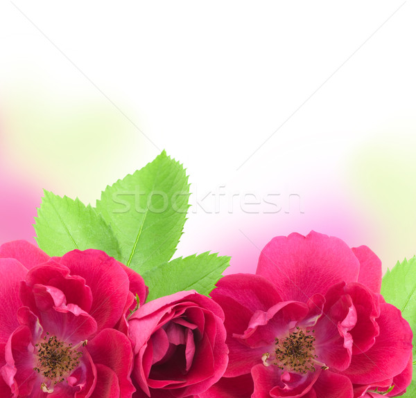Beautiful  Rose Flowers  Background with copy space for text Stock photo © Taiga