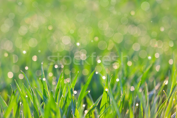 Fresh Background - green grass with drops of dew Stock photo © Taiga