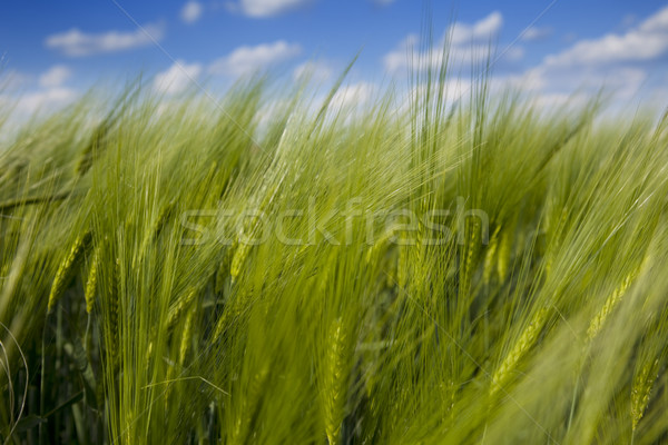 green wheat field and blue cloudy sky / summer / selective focus Stock photo © Taiga
