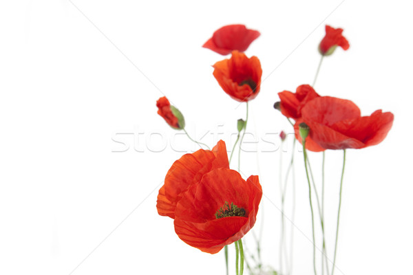 Stock photo: Poppies isolated on white background / focus on the foreground /