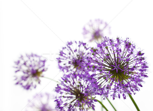 Beautiful Allium / abstract  on white Stock photo © Taiga