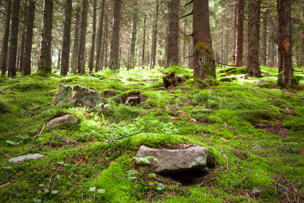 Old fairy forest with moss and stones on foreground  Stock photo © Taiga