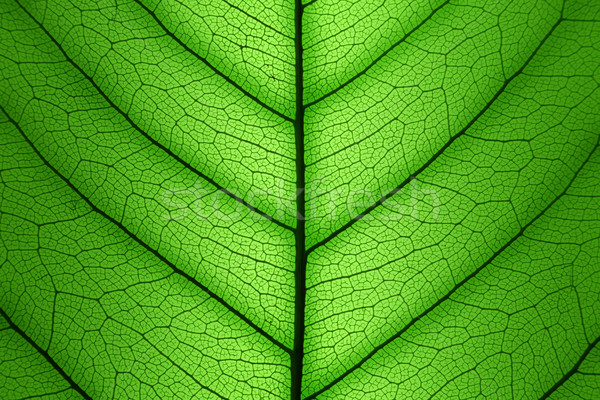 Feuille verte cellule structure macro texture coup Photo stock © Taiga