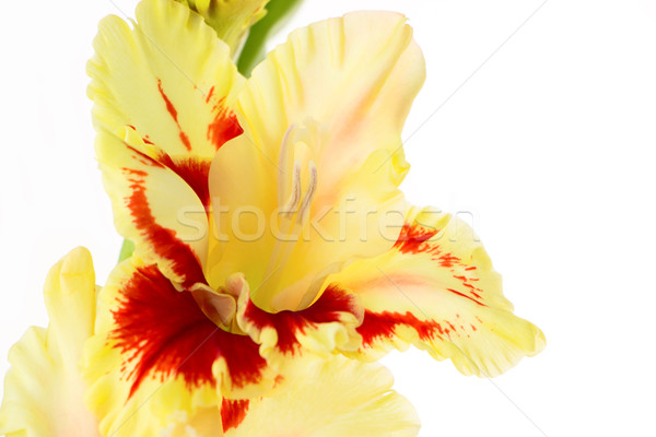 Beautiful colorful gladiolus isolated background Stock photo © Taiga
