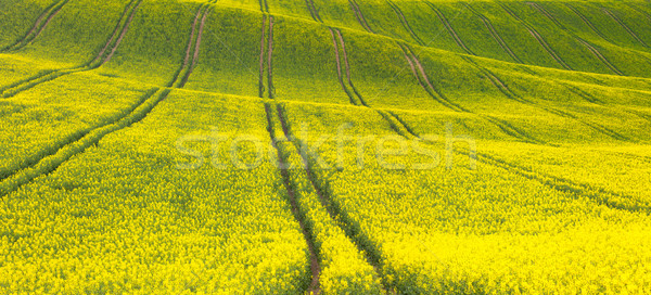Panoramic background of beautiful yellow-green floral canola fie Stock photo © Taiga