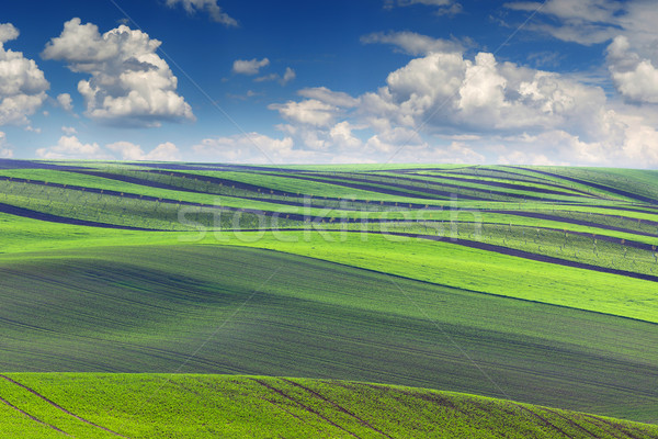 Stock photo: Spring Landscape of fields in beautiful striped hills valley