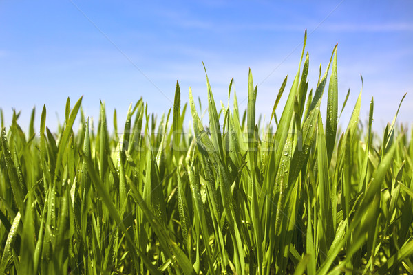 Groen gras waterdruppels blauwe hemel Pasen voorjaar gras Stockfoto © Taiga
