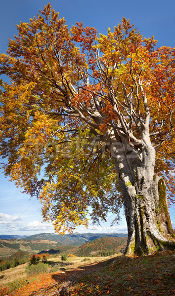 Old Colorful Tree, Autumn - Big size vertical Fall season Landsc Stock photo © Taiga