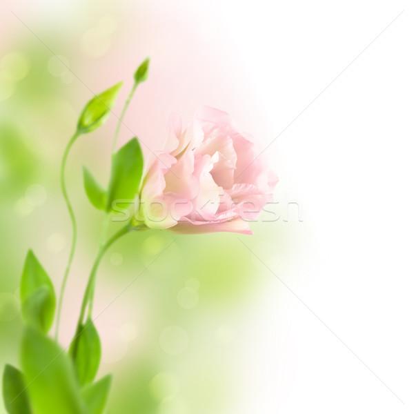 Beautiful  Lisiantus Flower on soft defocused background  /  Eus Stock photo © Taiga