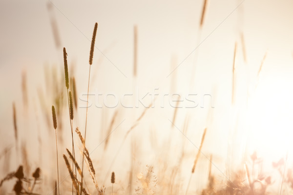 Vintage Meadow Floral nature in early sunny morning Stock photo © Taiga