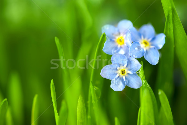 Three Forget-me-not Blue Flowers into Green Grass / Macro Stock photo © Taiga