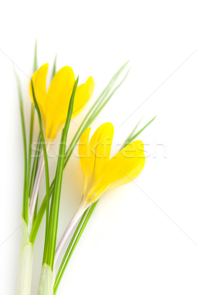Beautiful Yellow Spring Flowers isolated  / Crocus Stock photo © Taiga