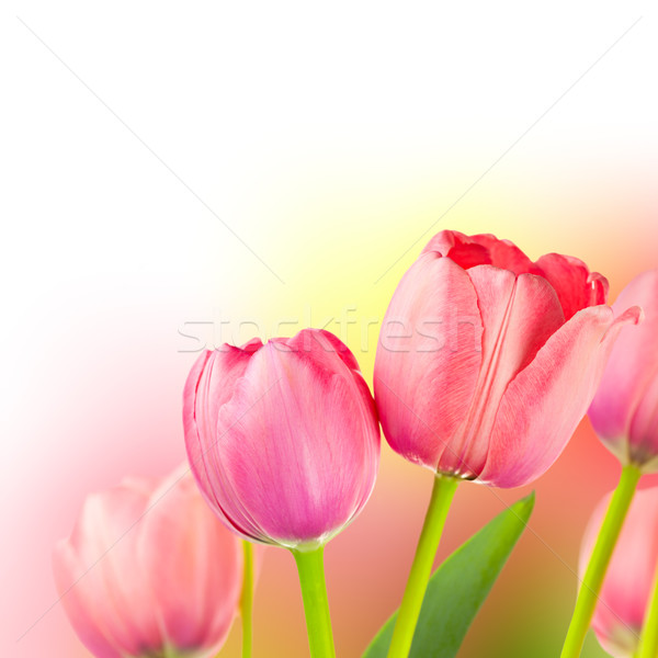 Fresh Tulips on Gentle colors Holiday Background Stock photo © Taiga
