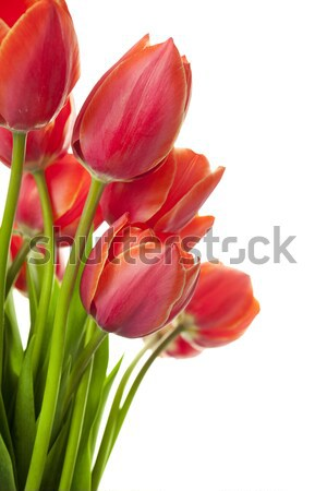 Fresh Beautiful Tulips / isolated on white / horizontal with cop Stock photo © Taiga
