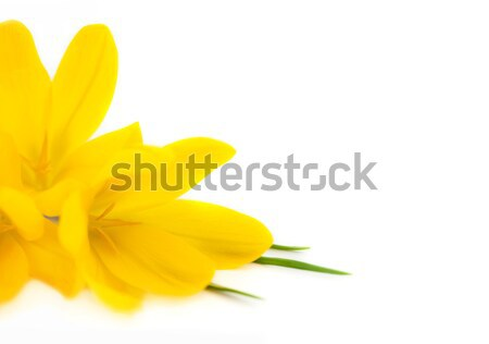 Yellow Crocus / Spring flowers isolated Stock photo © Taiga