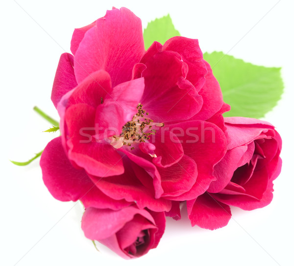 Beautiful  Red Rose Flowers with leaves isolated on white Stock photo © Taiga