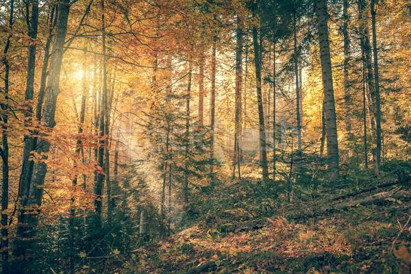 Morning in Wild Old Forest, Autumn season, vintage  Stock photo © Taiga