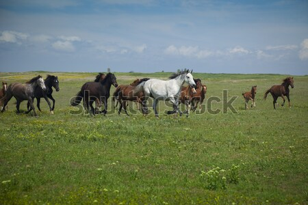 Horses Running / blue sky and green grass Stock photo © Taiga