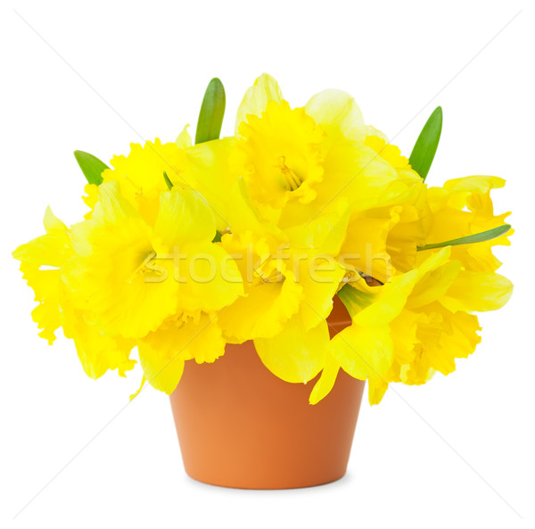 Beautiful Yellow Daffodils in flowerpot isolated on white  Stock photo © Taiga