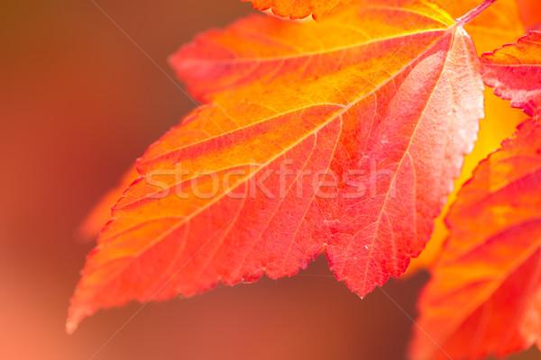 Macro of Beautiful Autumn leaves on defocused  background  Stock photo © Taiga