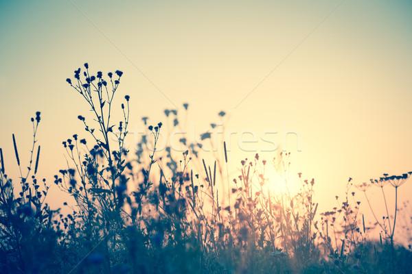 Vad virágok sziluett nap klasszikus naplemente virág Stock fotó © Taiga