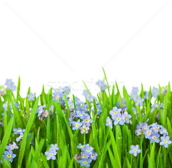 цветы зеленая трава изолированный белый весны природы Сток-фото © Taiga