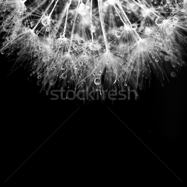Super macro white dandelion with droplets on black background Stock photo © Taiga