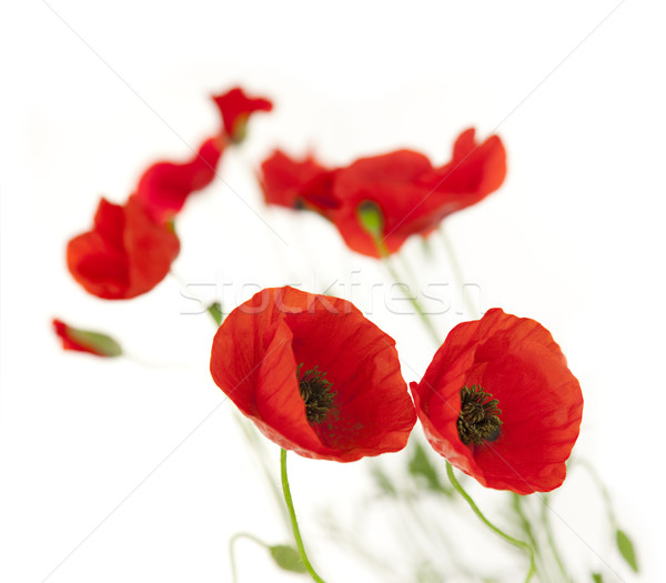 Fresh Poppies isolated on white background / focus on the foreg Stock photo © Taiga