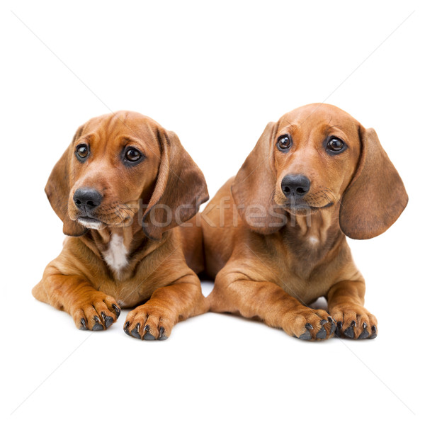 Stockfoto: Geïsoleerd · twee · teckel · puppies · vergadering · cute