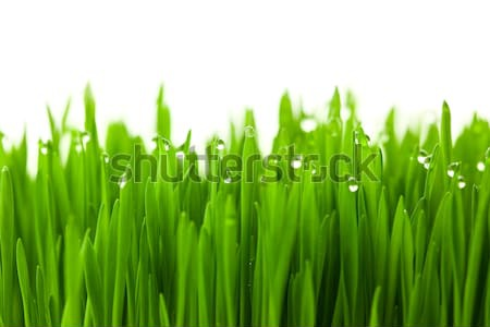 Fresh green wheat grass with drops dew / isolated on white with  Stock photo © Taiga