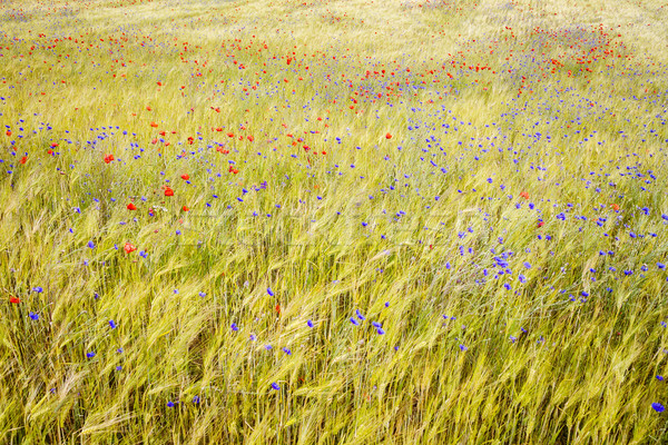 Blooming cornflowers and poppies in rye field Stock photo © Taigi
