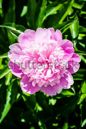 Pink peony flower  Stock photo © Taigi
