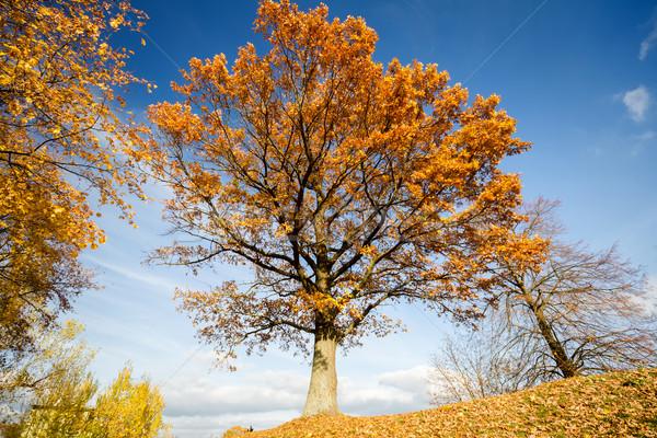 Hermosa otono roble cielo madera Foto stock © Taigi