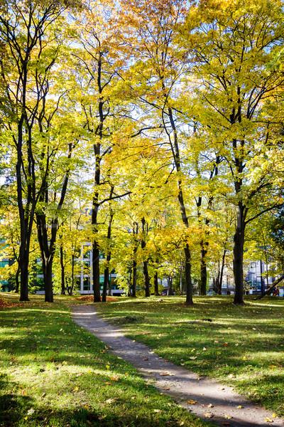 Zdjęcia stock: Duży · jesienią · klon · drzew · żółty · pozostawia