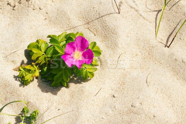 Dog rose on a beach Stock photo © Taigi