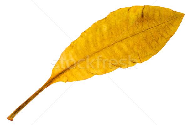 Beautiful golden leaf  Stock photo © Taigi
