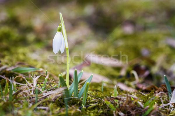Friss első virágzó közelkép lövés tavasz Stock fotó © Taigi
