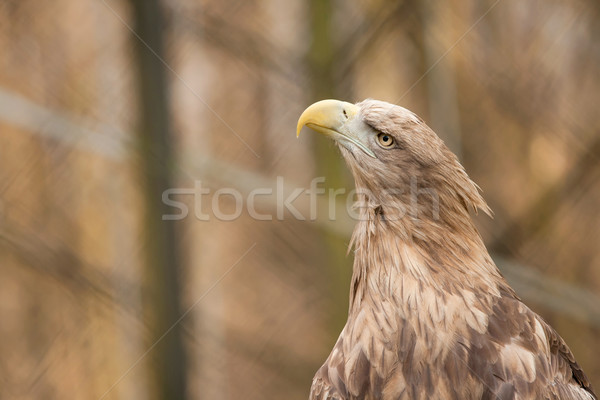 White-tailed Eagle Stock photo © Taigi